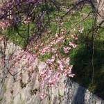 つぼみふくらむ しだれ桜