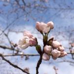桜咲き始める