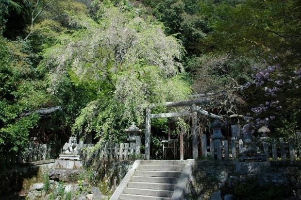 20140414 093 枝垂れ桜 大豊神社
