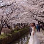 桜七分〜満開