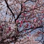 桜満開 周辺地図の配布