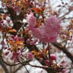 染井吉野「かなり落花」 大島・山桜・枝垂れ桜「満開」 八重桜「咲き始め」