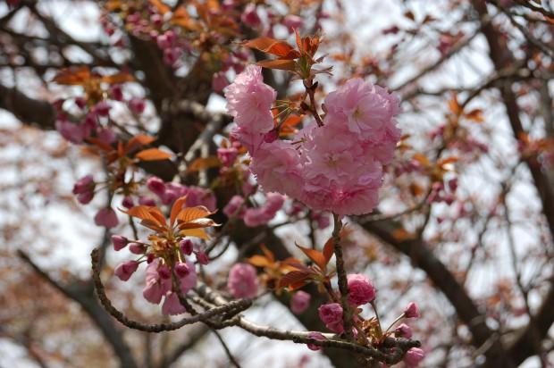 20140412 054 八重桜 哲学の道(桜谷橋