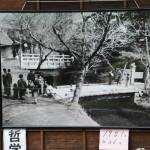 八重桜「散り始め」