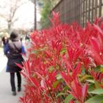 染井吉野「落花盛ん」 八重桜「早い株では少し咲き始め」
