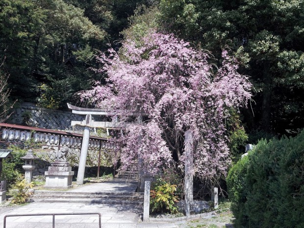 20140409枝垂桜 八神社