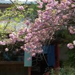 大島桜「落花盛ん」八重桜「満開」