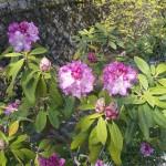 染井吉野は「散り始め」大島・山桜は「満開」