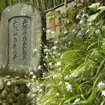 大島桜・山桜「満開すぎ」枝垂れ桜「散り始め」八重桜「八分咲き」