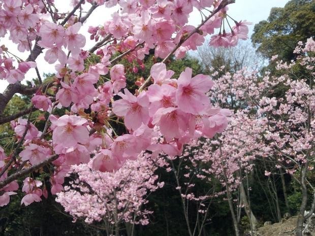陽光桜20140331_130425若王子 桜花苑