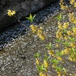 染井吉野「落花盛ん」八重桜「つぼみふくらむ」