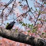 染井吉野「終了間近に」大島・山・枝垂れ桜「満開すぎ」八重桜「咲き始め」