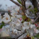 「函館匂桜」と「西洋実桜」