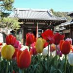 染井吉野「見頃終了」 大島ほか「満開過ぎ」八重「咲き始め」