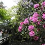 八重桜も終了 新緑の哲学の道