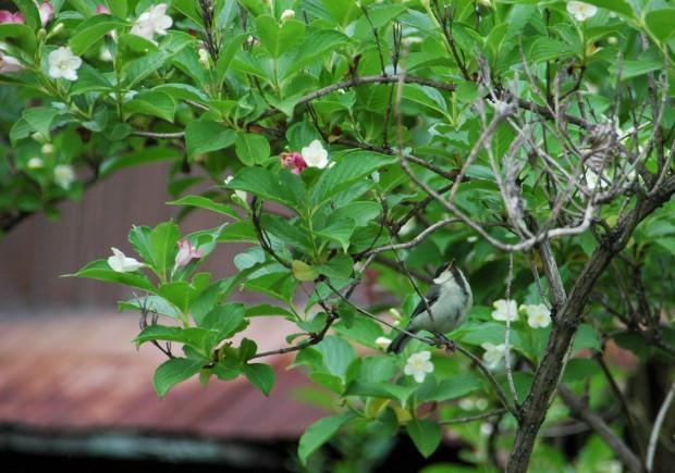鳥 シジュウカラ 043若鳥 ハコネウツギ哲学の道五建南