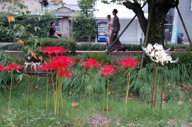 ヒガンバナ 20140919 (13)紅白 哲学の道(浄土寺~西田橋)