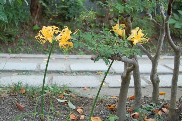 ヒガンバナ 20140921 (6)黄色種 哲学の道(巽~第2寺)