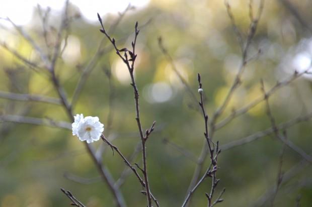 14.10.17 (70)十月桜