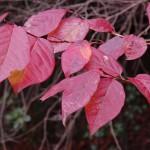 紅葉・黄葉はイロハモミジだけじゃない
