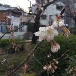 支那実桜(シナミザクラ)開花!
