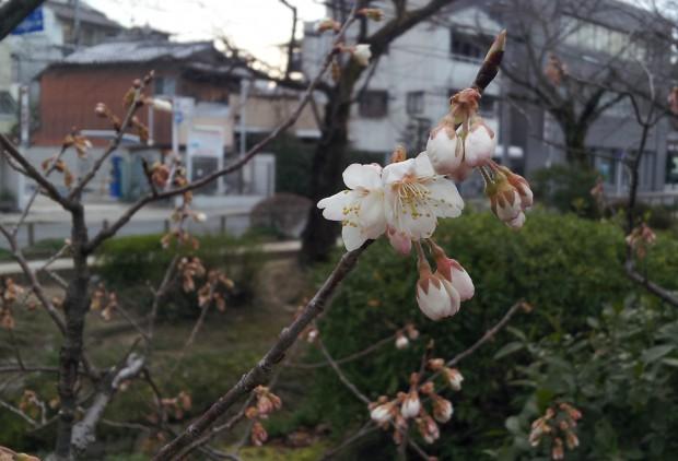 ①西洋実桜 15.03.16 (5)哲学の道(西田橋北西