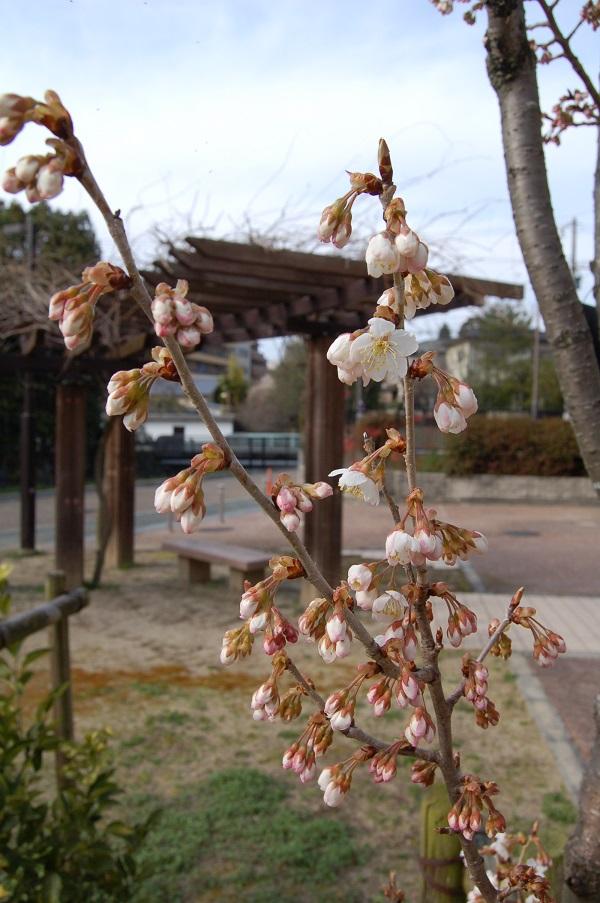 ②西洋実桜?15.03.16 (73)市営住宅高岸K1庭