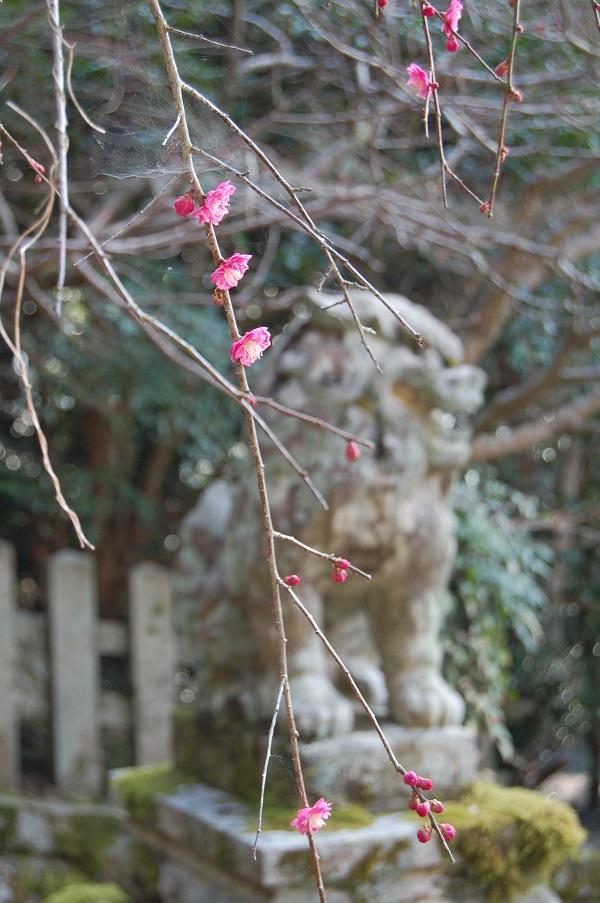 ④しだれ紅梅 15.03.16 (46)大豊神社