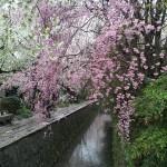 染井吉野散り始め 枝垂れ桜・大島桜まだ見頃