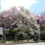 八重桜・上溝桜が見頃