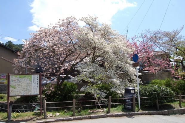 ① 181 八重桜 15.04.17 (234)法然橋上右