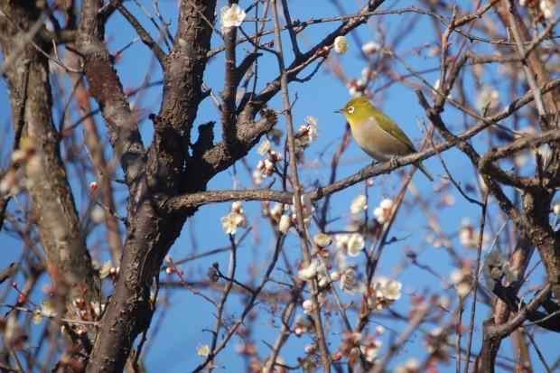 鳥 メジロ 16.02.08 (110)哲学の道(法然院橋