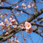 しだれ梅が咲き始め