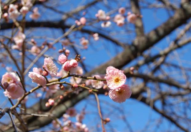 シダレウメ 16.02.08 (65)哲学の道(しだれ梅橋