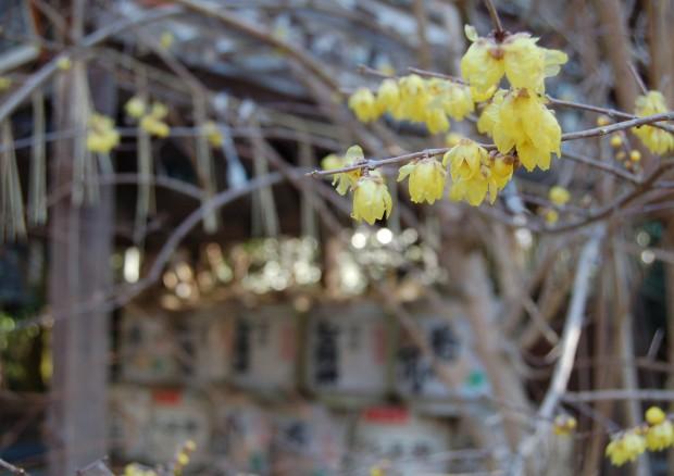 ロウバイ 16.02.08 (93)大豊神社