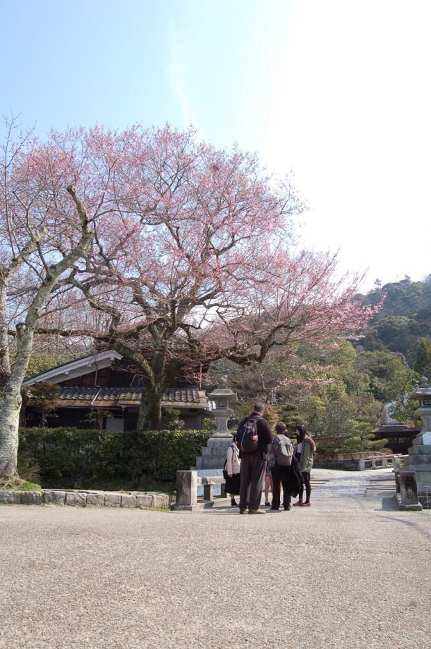 たてかわ桜 16.03.23 (3)大豊橋