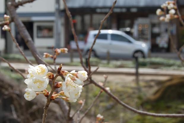 シナミザクラ 16.03.13.西田橋