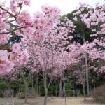 陽光桜 四分咲き