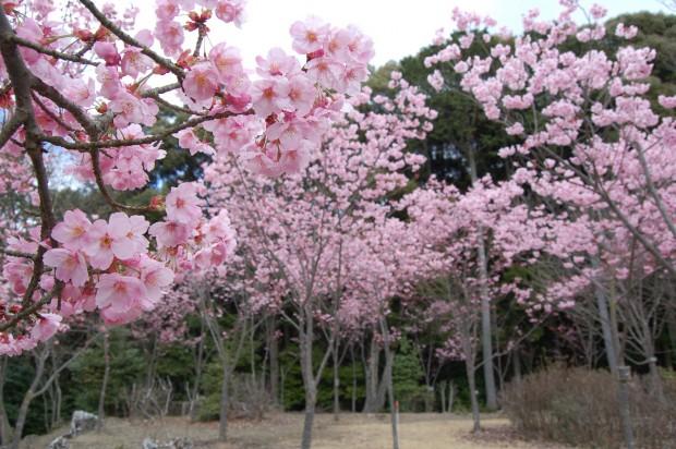 16.03.25 (39)陽光桜(若王子桜花苑