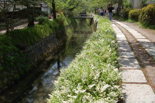 ②A ヒメウツギ 16.04.24 (24)弥勒橋