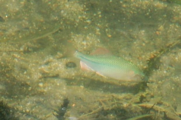 魚 カネヒラ 16.08.07 (14)哲学の道(浄土寺橋