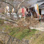 開花情報2 桜のつぼみ ふくらむ