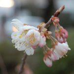 桜情報 支那実桜が開花