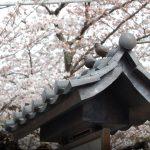 桜情報4 3〜4分咲き