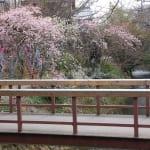 「哲学の道・春の大掃除と第6回桜まつり」のお知らせ