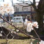 支那実桜・河津桜が満開です